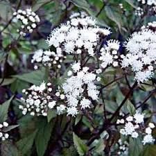 ageratina altissima chocolate - Google Search