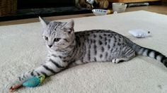 Gilly 4 months British Shorthair, 4 Months, Black Silver, Cats, Animals, Gatos, Animales, Kitty Cats, Animaux