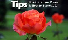 """Most people who grow roses, at one time or another will face the dreaded """"black spot."""" The first steps to reduce the possibility of your roses having black spot is cultural. The 6 areas culturally are: growing conditions, air flow, proper watering, plant resistant cultivars, sanitation... #garden"""