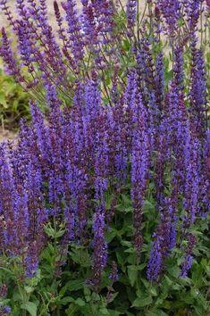 Salvia nemorosa Salvia, Plantation, Garden Plants, Gardening, Inspiration, Gardens, Perennial Plant, Shrub, Apple Tree