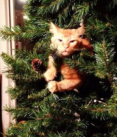 A Little Help?  15 Cats Who Don't Care About Your Christmas Tree Ornaments have never looked so furry