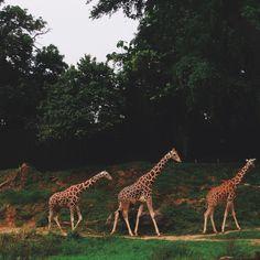 Giraffes at the National Zoo Vsco Grid, Giraffe, Animals, Felt Giraffe, Animaux, Animal, Animales, Giraffes, Animais
