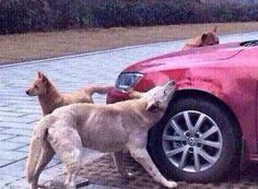 Cachorro de rua se vinga de motorista e reúne grupo para destruir carro na China| Mídia Recôncavo