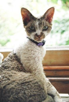 Gizzie, Devon Rex girl. Cats and Kittens.  Cats and Kittens > https://www.pinterest.com/trevorellestad/all-the-cats/ and like OMG! get some yourself some pawtastic adorable cat shirts, cat socks, and other cat apparel by tapping the pin!