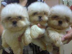 White Shih Tzu Puppies ? Quezon City for Sale in Quezon City, National ...