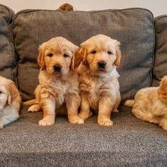 #mybabies😍 ___________________________ #puppylove #puppies #goldenlove #golderetriever #dogphotography #dogsofromania #instacute #petstagram #lovingdog #picaisamumy #picabardezi ___________________________