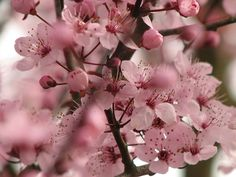 Cherry blossoms are great Spring branches for tall arrangements.