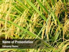 Rice Plant PowerPoint Templates - Rice Plant PowerPoint Backgrounds, Templates for PowerPoint, Presentation Templates, PowerPoint Themes Free Powerpoint Presentations, Powerpoint Themes, Powerpoint Presentation Templates, Rice Plant, Ppt Themes, Presentation Backgrounds, Social Icons, Planting Seeds, Company Names