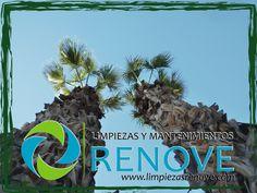 Siempre impresiona la manera de podar palmeras de la forma tradicional. Renove Garden cuenta con verdaderos profesionales de la poda de palmeras, Ilicitanos de nacimiento que nacieron alrededor de ellas. Visita nuestra web: www.limpiezasrenove.com