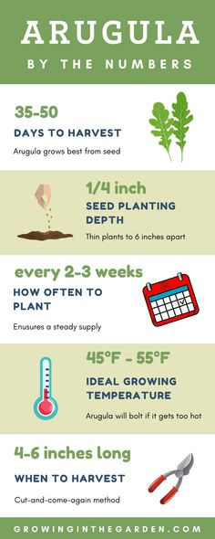 Quick facts for growing arugula. Learning how to grow arugula is simple – it doesn't require much room and grows well in almost any container. Arugula is a fast-growing, cool-season green known for its peppery flavor. #arugula #infographic #howtogrow Arugula Growing, Growing Herbs, Fast Growing, Growing Vegetables, Hydroponic Gardening, Hydroponics, Container Gardening, Gardening Tips, Garden Inspiration