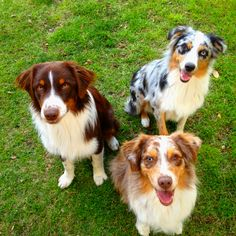 Aussies! Red merles and Blue merle.