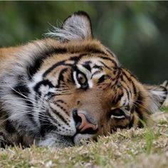 Tigers are renowned the world around for their undeniable beauty, grace and form Tags Tiger Spirit Animal, Animals And Pets, Cute Animals, Amazing Animal Pictures, Husky, Save The Tiger, Spiritual Animal, Wild Creatures, San Diego Zoo