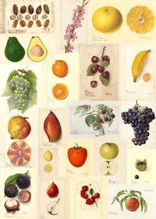 """U.S. Department of Agriculture (USDA) Pomological Watercolor Collection.  """"The USDA Pomological Watercolor Collection documents fruit and nut varieties developed by growers or introduced by USDA plant explorers around the turn of the 20th century. Technically accurate paintings were used to create lithographs illustrating USDA bulletins, yearbooks, and other series distributed to growers and gardeners across America."""""""