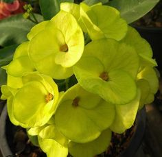Tiny Flowers, Colorful Flowers, Crown Of Thorns Plant, Garden Sprinklers, Euphorbia Milii, Dappled Light, Big Plants, Mother Plant, Yellow Leaves