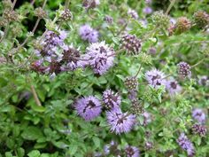 Fly Repellant, Insect Repellent, Repelir Mosquitos, Natural Mosquito Repellant, Mosquito Repelling Plants, Lilac Flowers, Plantation, Growing Vegetables, Herb Garden