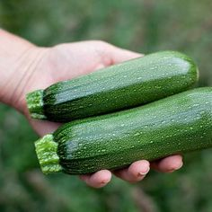 Courgettes – Grow Guide