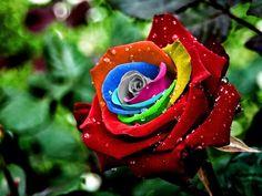 Colorful Rose  Pretty