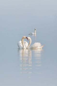 """Tenderness"" by Eye for emotion on Flickr - beautiful swans"