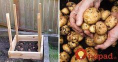 Zemiaky sú hádam najviac využívanou surovinou v našich domácnostiach. Vedeli ste, že na pestovanie zemiakov nepotrebujete rozľahlé pole a dokonca ani veľkú záhradu?