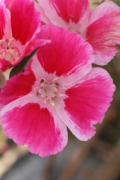 Clarkia rubicunda 'Shamini' By Annie [Flickr]