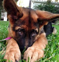 Bashful German shepherd