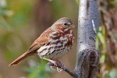 Fox Sparrow.