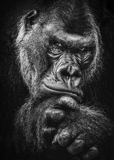 """Beautiful """"wild gorilla face poster """" metal poster created by studio. Our Displate metal prints will make your walls awesome. Gorilla Tattoo, Gorilla Wallpaper, Animal Wallpaper, Western Lowland Gorilla, Tier Wallpaper, Silverback Gorilla, Mountain Gorilla, Pet Monkey, Skull Art"""