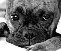 Emma Jean  Boxer Photography Dog Black and White by FlashForward, $18.00