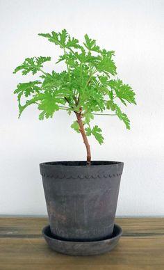 Indoor Gardening Tips på hur du gör för att stamma upp Dr Westerlund! Growing Gardens, Growing Plants, House Plants Decor, Plant Decor, Outdoor Plants, Outdoor Gardens, Plants Indoor, Herb Garden, Vegetable Garden