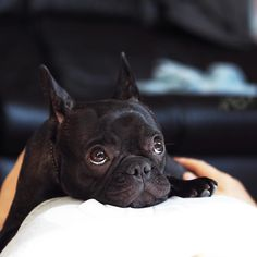 Theo, the French Bulldog Puppy