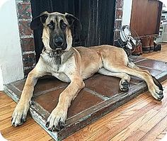 This is Champ a Great Dane/Shepherd mix who is looking for ...