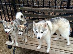 Alaskan Klee Kai Alaskan Klee Kai, Husky, Kawaii, Puppies, Dogs, Animals, Animais, Cubs, Animales