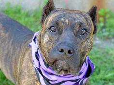 Brooklyn Center PHEOBE - ID#A1001496  I am an unaltered female, brown brindle and white Mastiff mix.  The shelter staff think I am about 1 year and 1 month old.  I weigh 88 pounds.
