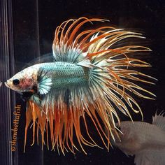 Metallic Patterned Crowntail Male