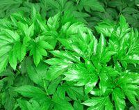 How Ashibata Benefits Your Health Thru Promoting Your Metabolism | Benefits of Ashitaba Plant