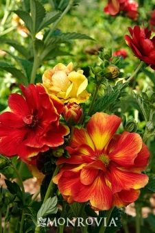 Arc En Ciel Cinquefoil - Potentilla 'Arc En Ciel'  Light needs: 	Full to partial shade  Water Needs: 	Needs wet or constantly moist soil.  Average landscape size: 	Forms a clump 12 to 16 in. tall with trailing stems