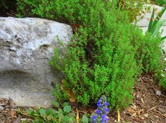 Thyme in shade