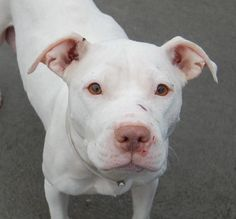 SAFE ! 11/30/13 Brooklyn Ctr P STAR #A0985040 Female wht pit mix 1YR 6 MTHS OWNER SUR 11/15/13 Star appears to have had a life w/ little care or love. Gets along w/ dogs. Friendly toward children & people. Calm, relaxed, & affectionate during behavior exam - which Star ACED! Full of life. A trusting & loving little doll, who has had recently had pups. Star could be a wonderful companion w/ the right support to guide her and bring her comfort, peace & love. How big is your heart?