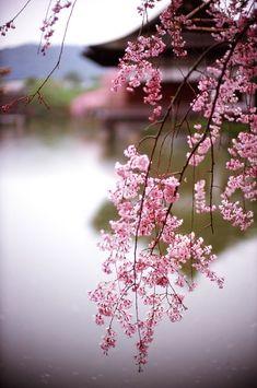 Image Zen, Beautiful Flowers, Beautiful Pictures, Sakura Cherry Blossom, Japanese Cherry Blossoms, Japanese Beauty, Japanese Culture, Belle Photo, Beautiful World