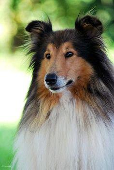 Collie #depelolargo hace referencia a muchas razas de perro, con origen en Escocia y el norte de Inglaterra.Se le ha llamado de varias maneras: coll, colly, collie, colley, pastor escocés o pastor de Escocia.