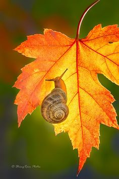 A snail on a maple leaf on a wonderful autumn morning by Sophie Pan Autumn Scenery, Autumn Nature, Golden Snail, Afrique Art, In Natura, Fotografia Macro, Autumn Morning, Fall Pictures, Leaf Art