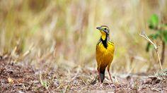 Yellow throated longclaw by Vishwa Kiran on 500px
