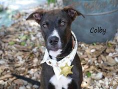 Fort Myers, FL - Redbone Coonhound Mix. Meet COLBY, a puppy for adoption. http://www.adoptapet.com/pet/15393889-fort-myers-florida-redbone-coonhound-mix