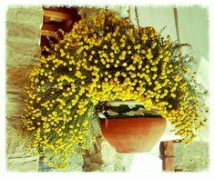 Patio El Clos,  flowers yellow.