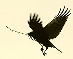 crows spend five years raising their young and are as intelligent as chimps with a language of 250 calls
