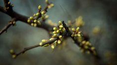 Spring Buds Bokeh Wallpaper