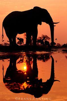 African elephant, Loxodonta africana, and greater kudu, Tragelaphus strepsiceros, at dawn, Chobe National Park, Botswana