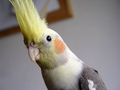 The Do's and Don'ts of cleaning a cockatiel cage. http://www.animalmayhem.com/cleaning-a-cockatiel-cage/