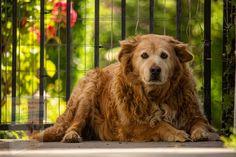 Dogs Golden Retriever, Golden Retrievers, Akc Breeds, How To Be Outgoing, Animals, News, Otitis Media, Game, Dog Breeds