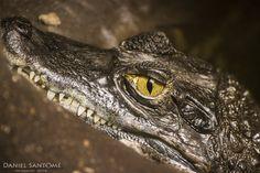 """""""Te Veo"""", fotografía de un cocodrilo en el Zoo de Santo Inácio, Portugal."""